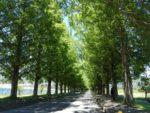 滋賀県高島市マキノ町・メタセコイア並木とマキノピックランド